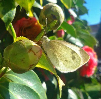 Leggiadra la farfalla si posa sopra a un fiore...