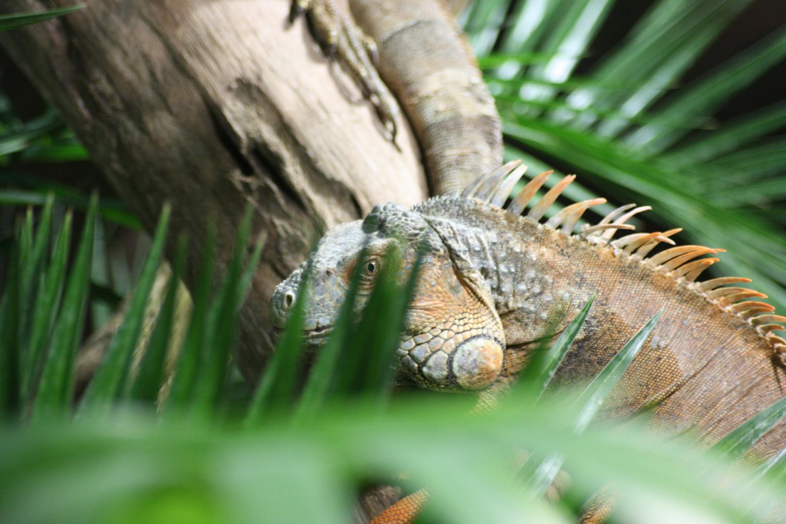 Leguan auf der lauer