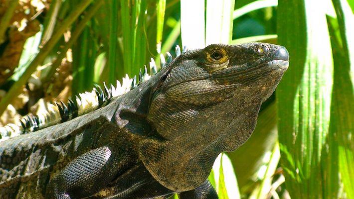 Leguan - Costa Rica