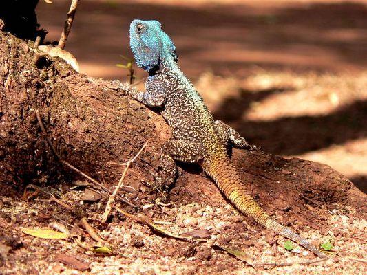 Leguan, gesehen in Swasiland