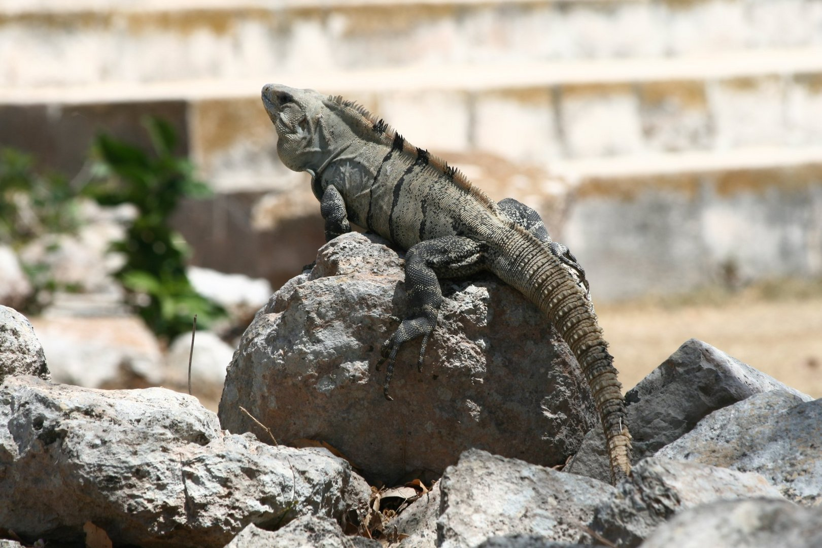 Leguan in Uxmal (Mexiko)
