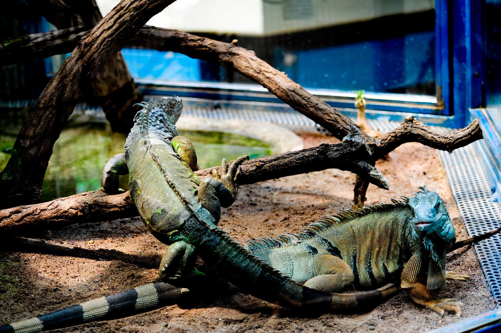 Leguane - Luiesenpark 4