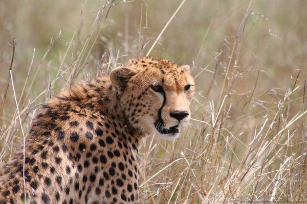 Leicht genervter Gepard