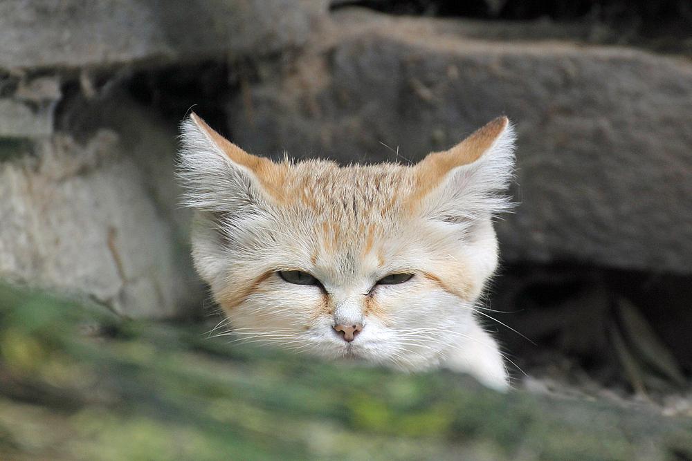 Leicht verschlafene Sandkatze