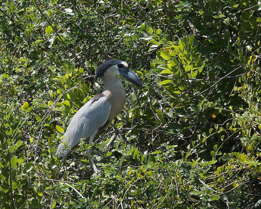 Leider auch im Dschungel selten - ein Schuhschnabel.
