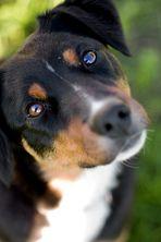 Leila - Appenzeller Sennenhund