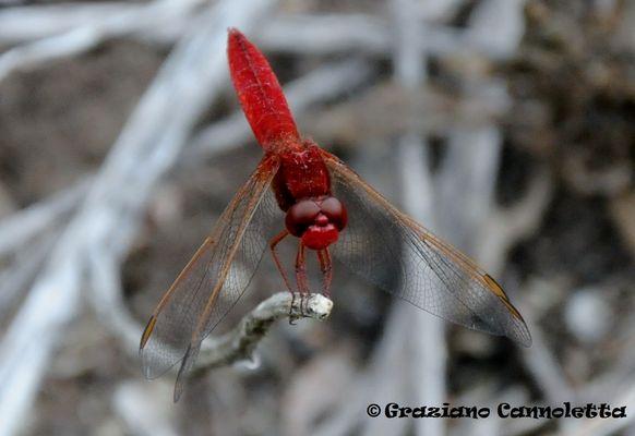 L'eleganza della libellula