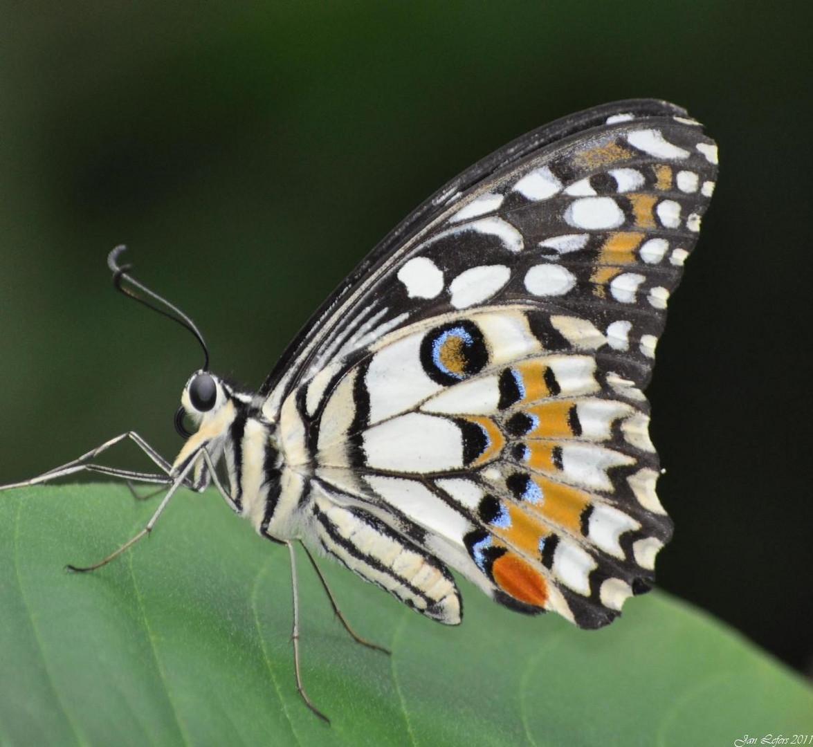 Lemon Butterfly, Papilio demoleus,