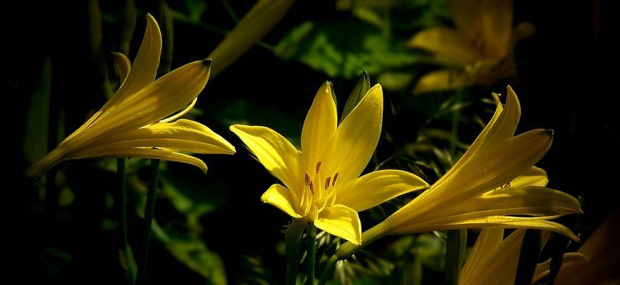 Lemon Day-Lily