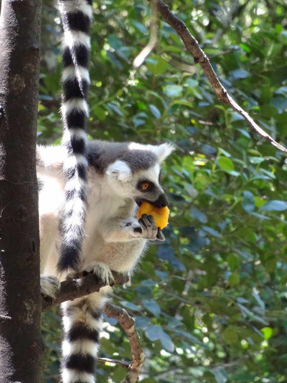 """Lemur bei der """"Arbeit"""""""