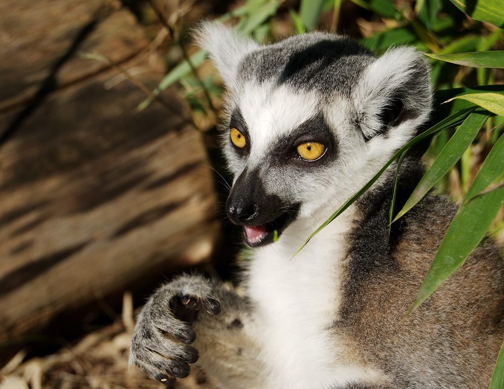 Lemur beim Casting