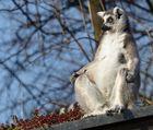 Lemur beim Chillen