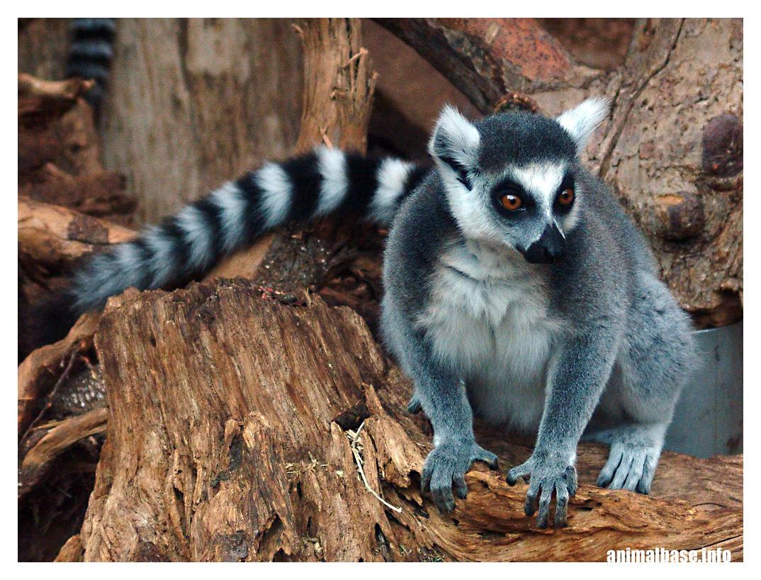 Lemur catta - Katta