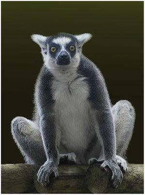 Lemur de Madagascar