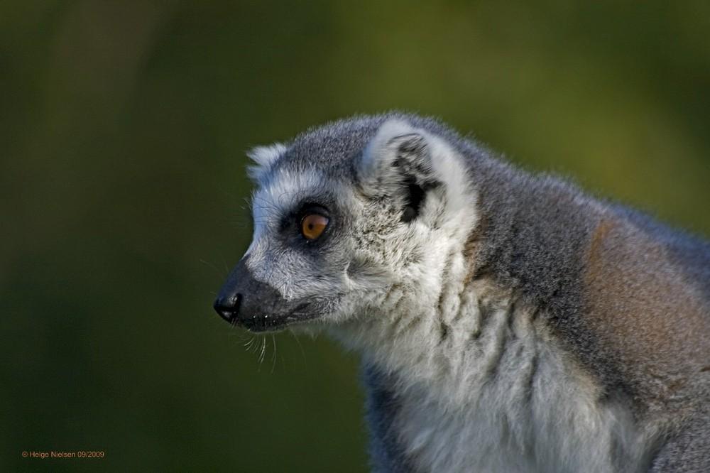 Lemur (Halbaffe)