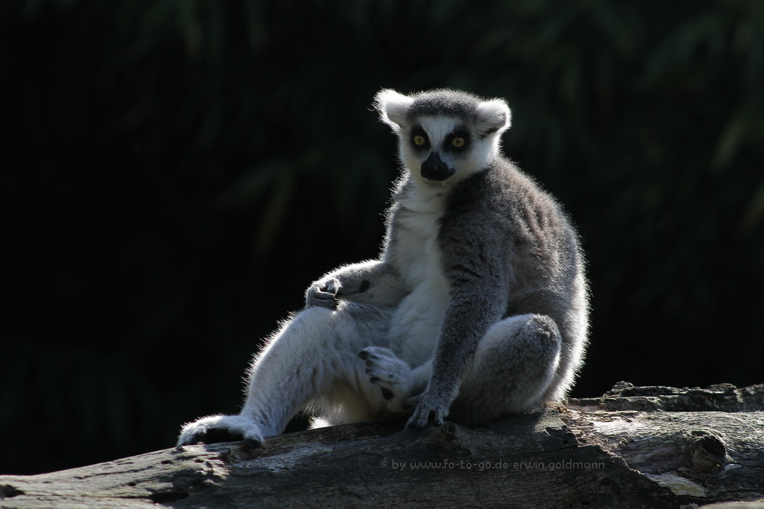 Lemur im Duisburger Zoo