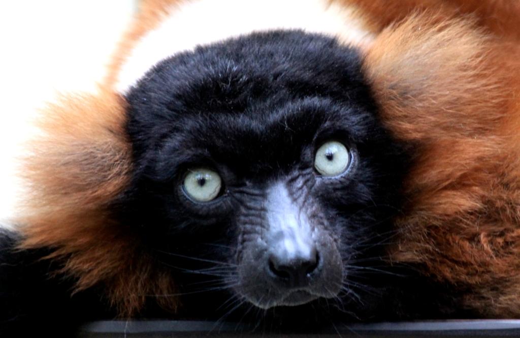 Lemure, Roter Vari,  Zoo Köln
