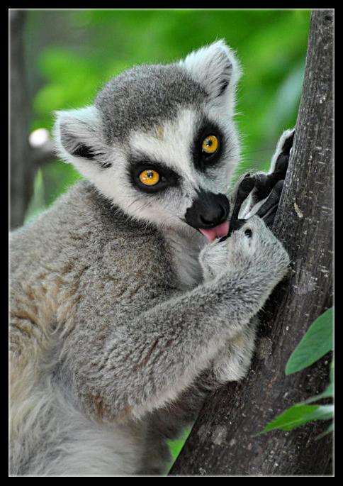 Lemuren - faszinierende Wesen !