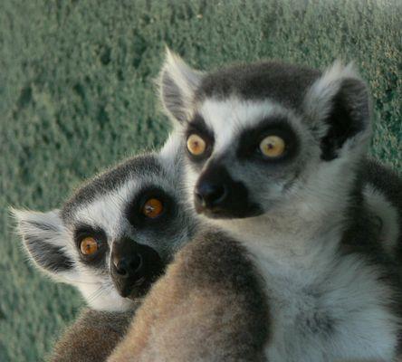 Lemures de cola anillada