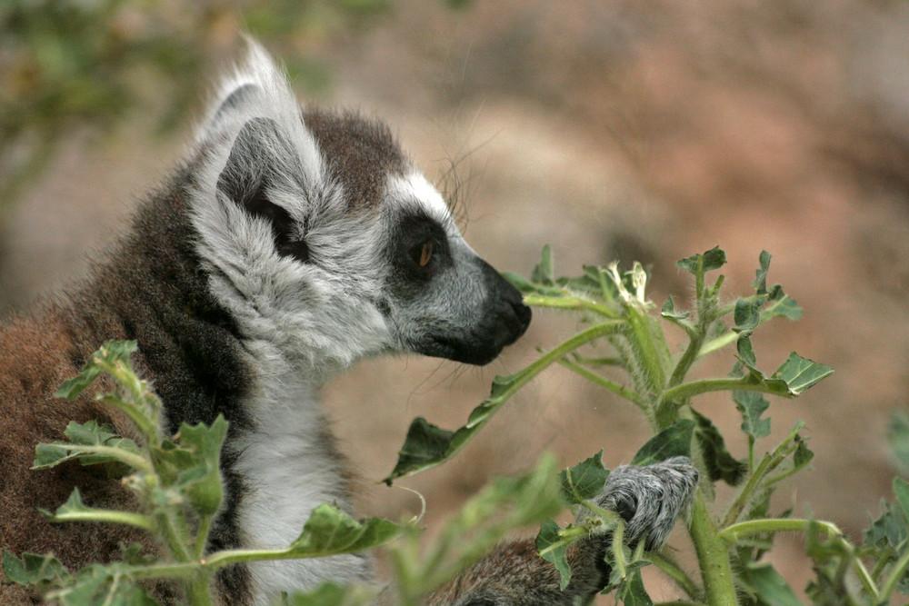 lemurien adulte