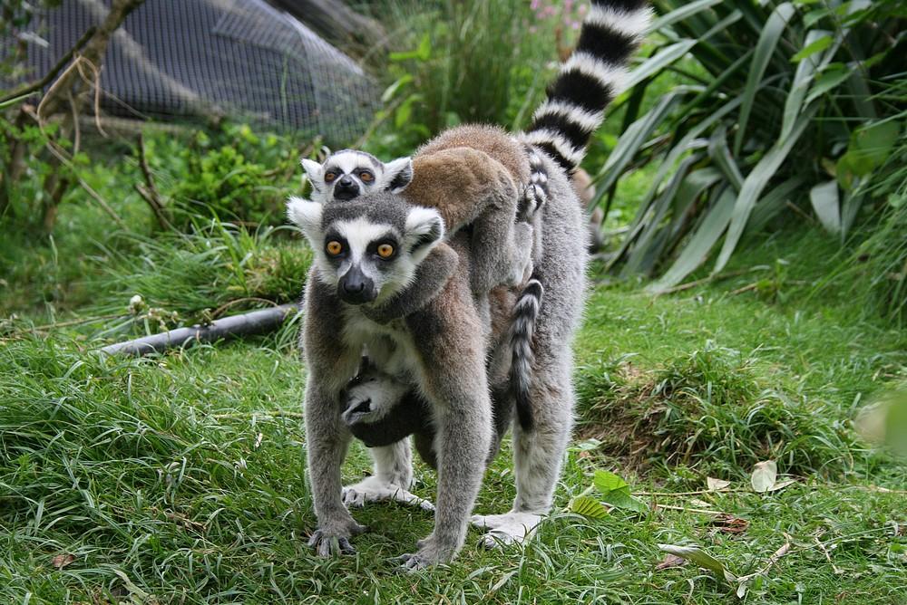 Lémurien et ses petits