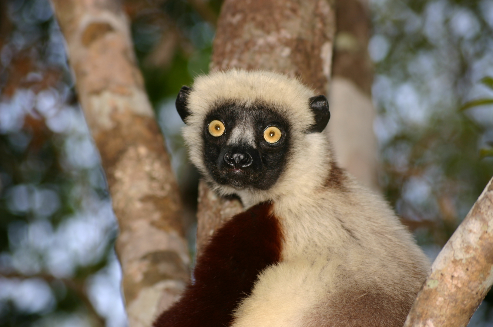 lemurien (madagascar)