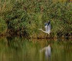 l'envol du heron