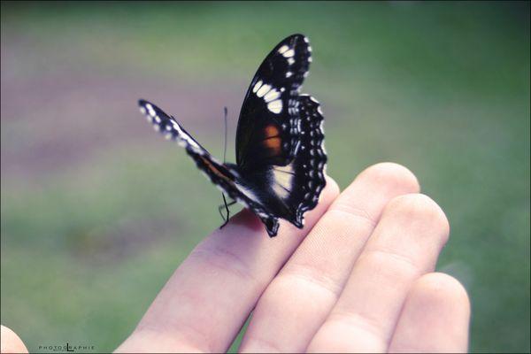 L'envol du papillon.