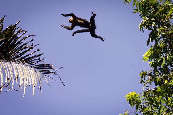 L'envol du singe