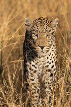 Leo auf der Jagd