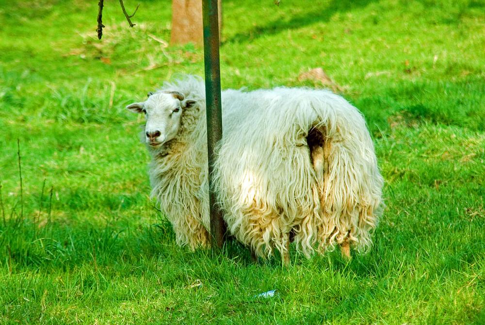 Leo das Schaf