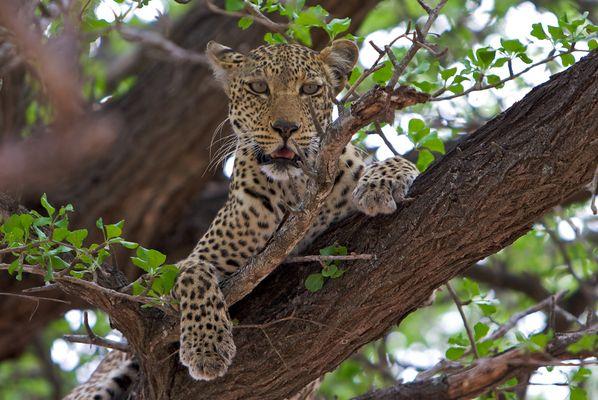 Leo im Baum