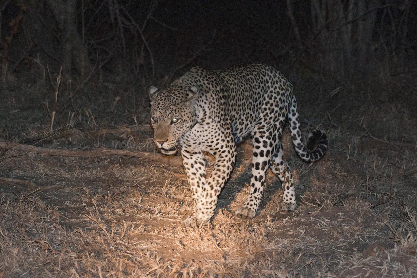 Leo in der Nacht / South Luangwa / 18.06.2013