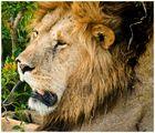 León exhausto (Kenya)
