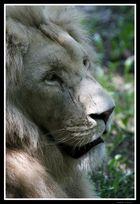 leone biondo