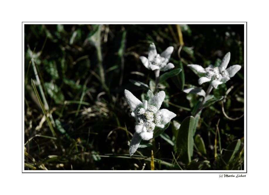 Leontopodium alpinum (Edelweiß)