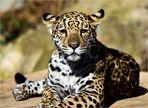 *** Leopard (2) ***