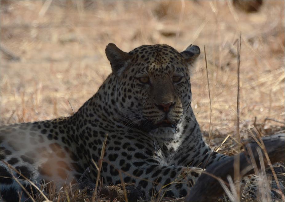 Leopard ...
