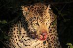 Leopard am Riss