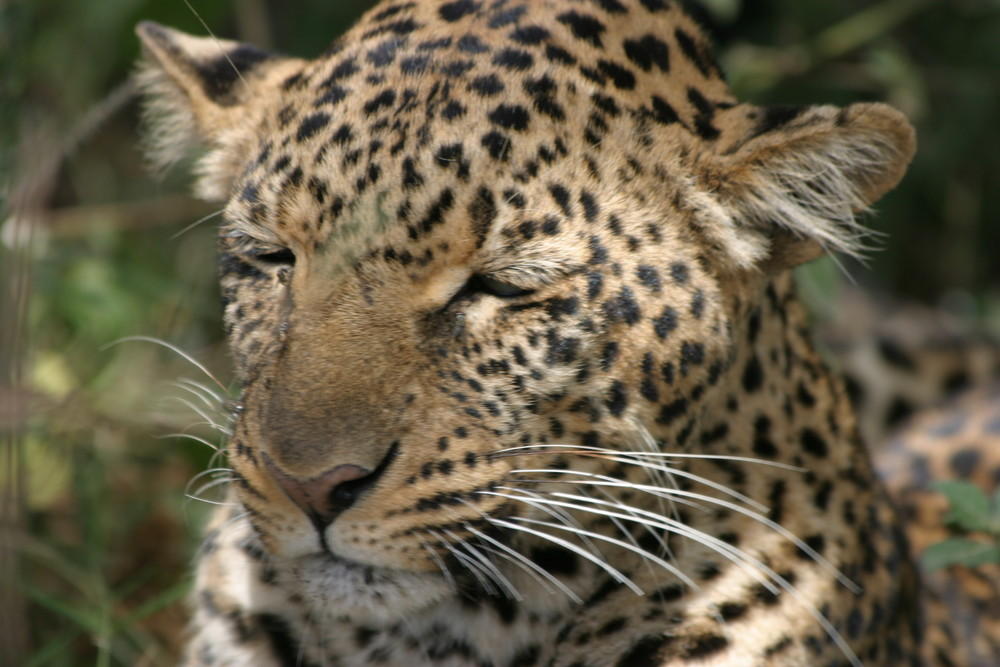 Léopard au Kenya