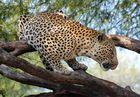 Leopard auf Düsternbrook