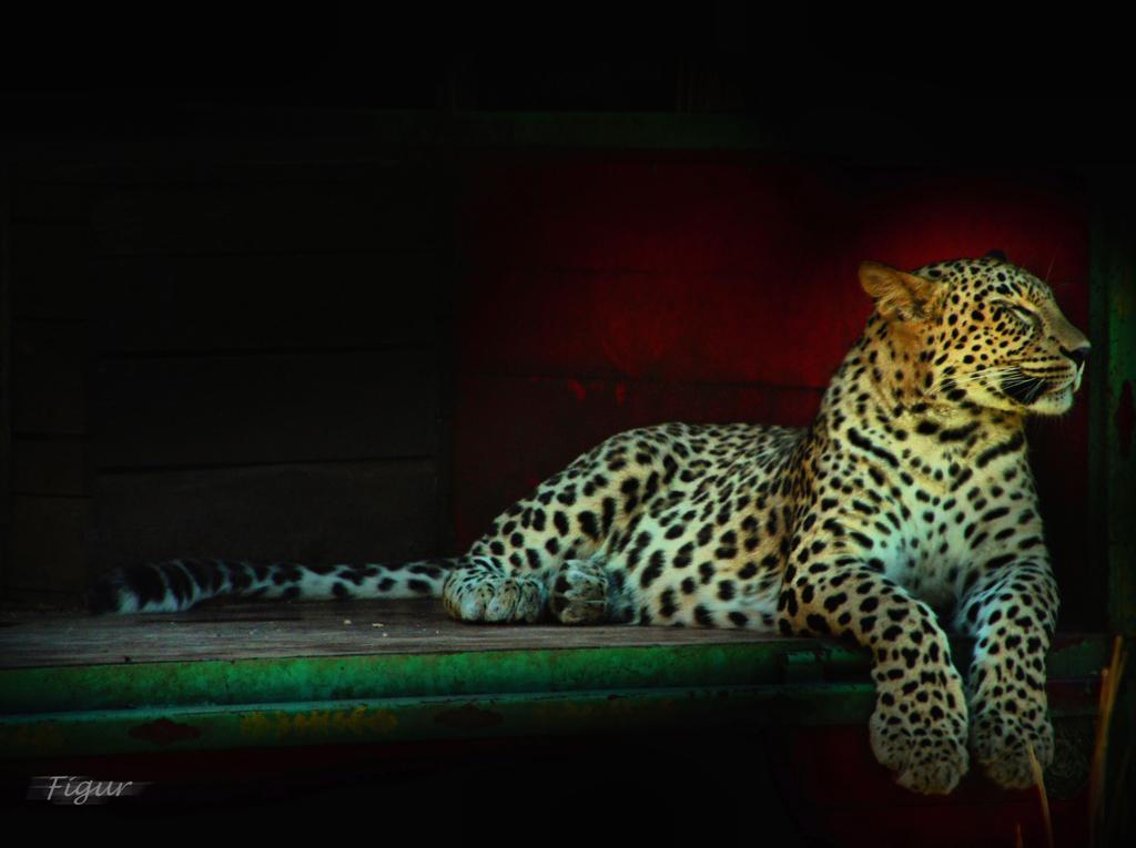 Leopard auf LKW Ladefläche