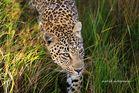 Leopard auf Morgenpirsch
