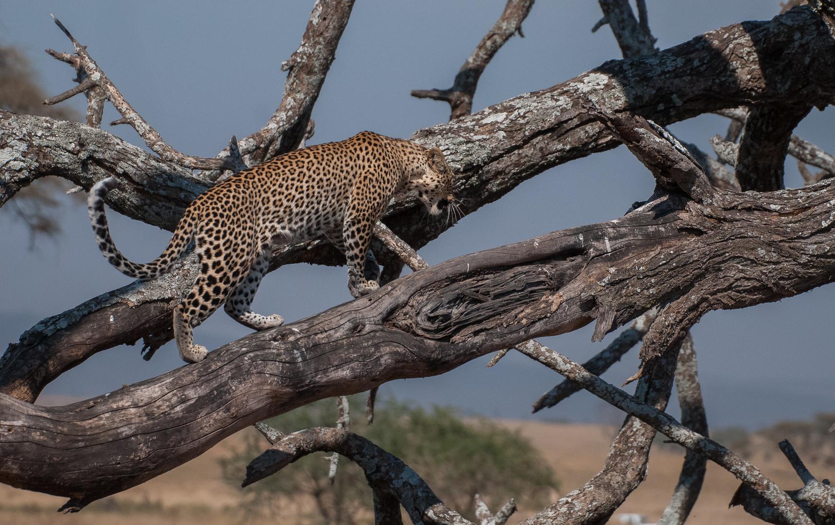Leopard auf suche...