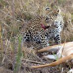 Leopard beim Abendfressen und Carl Zeiss 135mm mit Blende 1,8