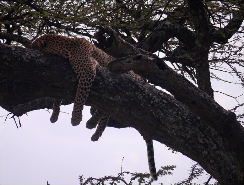 Leopard beim Chillen...