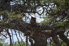 Leopard beim Mittagsschlaf Serengeti