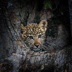 Leopard cub - Home Alone 3
