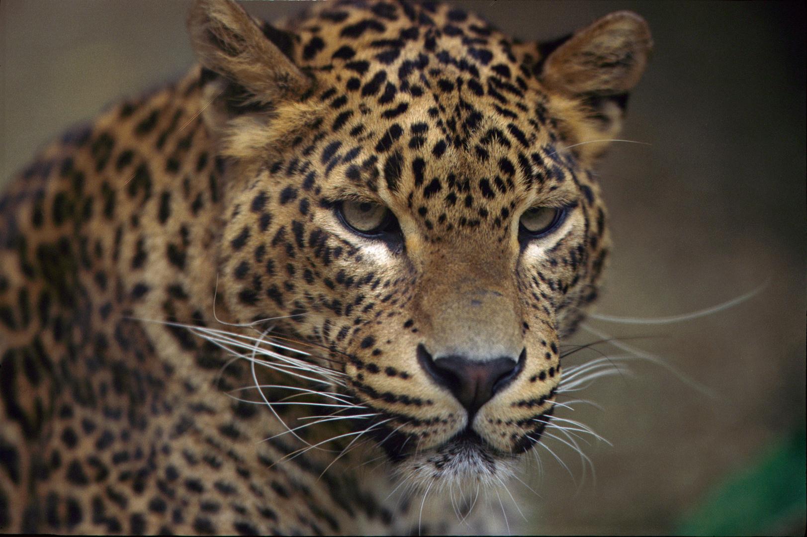 Leopard de Perse