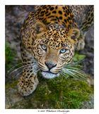 Leopard deu zoo de Cerza